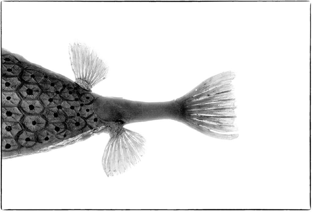poisson coffre